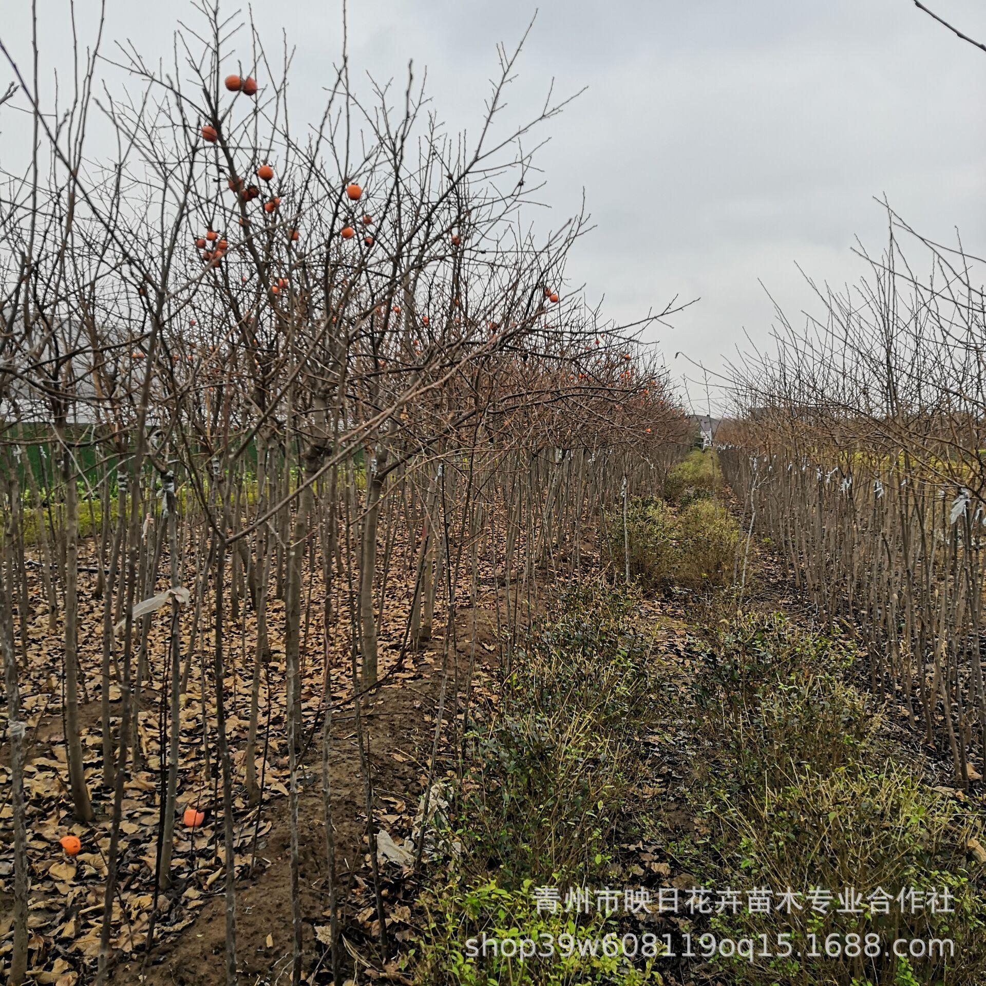 水果柿子树基地批发 食用做柿饼 柿子树苗 绿化道路用树3-5公分