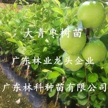 枣树嫁接苗正宗台湾牛奶大青枣树苗特大南北方种植盆栽地栽青枣苗