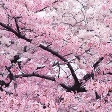 批发日本樱花树苗樱花小苗南北方庭院地栽盆栽花树园林植物风景树