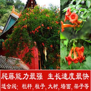 庭院攀援植物绿化苗木凌霄花苗美化生长快攀爬藤本植物栅栏植物