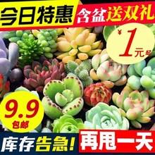 多肉植物 1元 新款 超萌玉露 多肉 室内盆栽办公室花卉含盆带土
