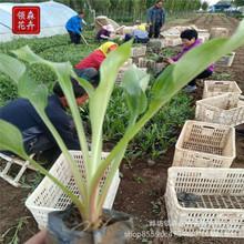 紫花玉簪 白花玉簪 小区公园绿化 青州宿根花卉 工程苗基地