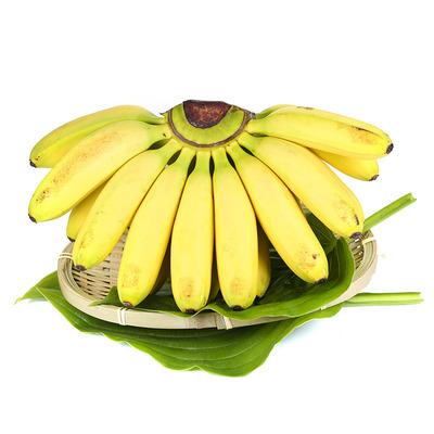 货源广西小米蕉banana香蕉 新鲜应季水果 香甜芭蕉黄皮全年供货代发批发