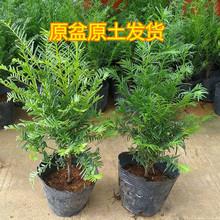 红豆杉盆栽热销供应 南方曼地亚红豆杉苗 四季常青红豆杉