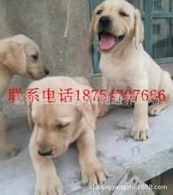 出售纯种拉布拉多犬幼犬拉布拉多导盲犬家养大骨架拉布拉多宠物狗