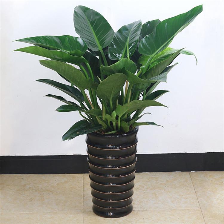 大叶金钻盆栽室内绿植净化空气吸甲醛花卉四季好养观叶四季青植物