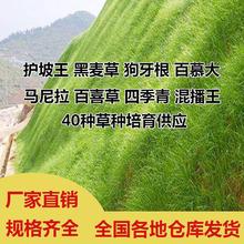 进口四季青护坡草籽高羊茅草种庭院绿化耐践踏高杆草坪种子免修剪