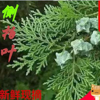 货源秦岭新鲜侧柏叶3斤 扁柏叶植物防脱 中药材批发