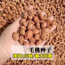 毛桃种子毛桃树种子毛桃核山杏子树桃树种子山桃种子可做嫁接果树