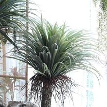 热带植物摩洛哥仿真龙血树龙舌兰酒瓶兰北欧大型植物装饰盆景摆件