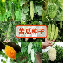 寿光蔬菜种子翠丰苦瓜种子苹果苦瓜大鼎苦瓜白苦瓜绿苦瓜种子