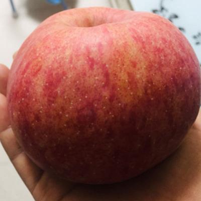 货源洛川红富士苹果 正宗陕西洛川红富士高山新鲜水果带箱10斤装 批发批发