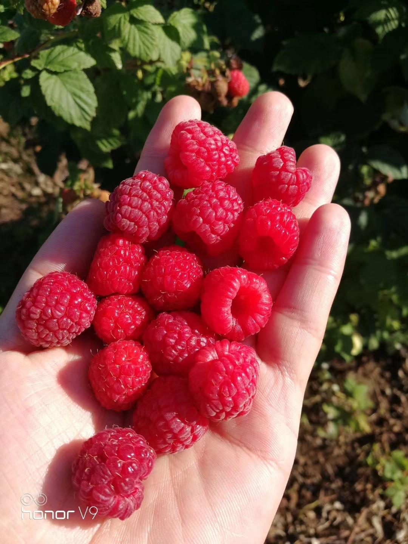 速冻红树莓 冷冻红树莓 冻树莓 果汁果酱果馅甜品水果原料供应