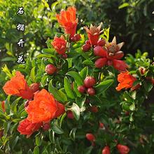 石榴树盆栽特大果树南北方种植庭院地栽四季观赏老桩盆景当年结果