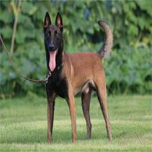 马犬幼犬活体 纯种马犬比利时牧羊犬红马大型犬赛级宠物犬