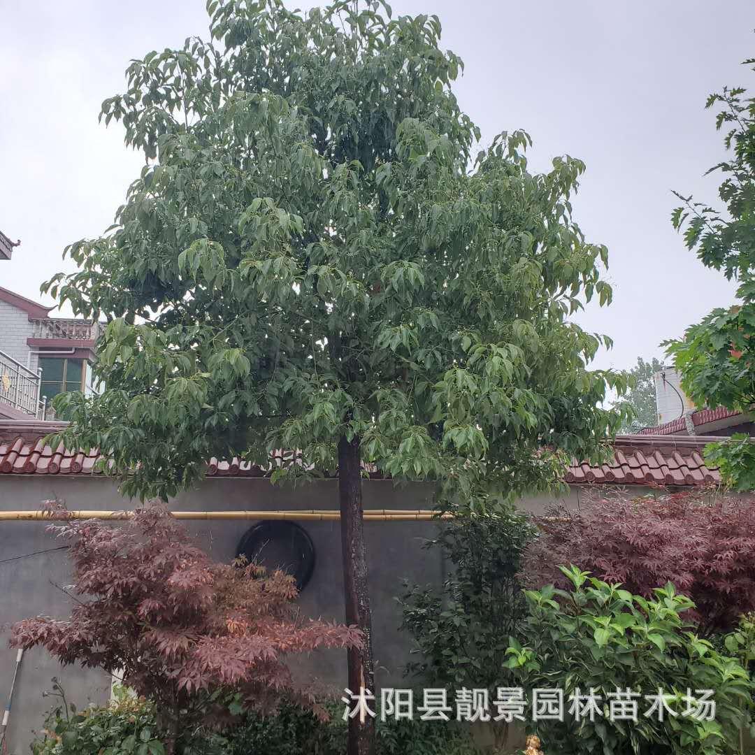 【批发】绿化工程香樟树 全冠香樟 香樟丛生 截杆香樟 常绿乔木
