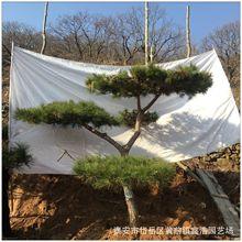 2020年園林工程綠化北方精品造形松樹 高2-3米移植成活現挖油松