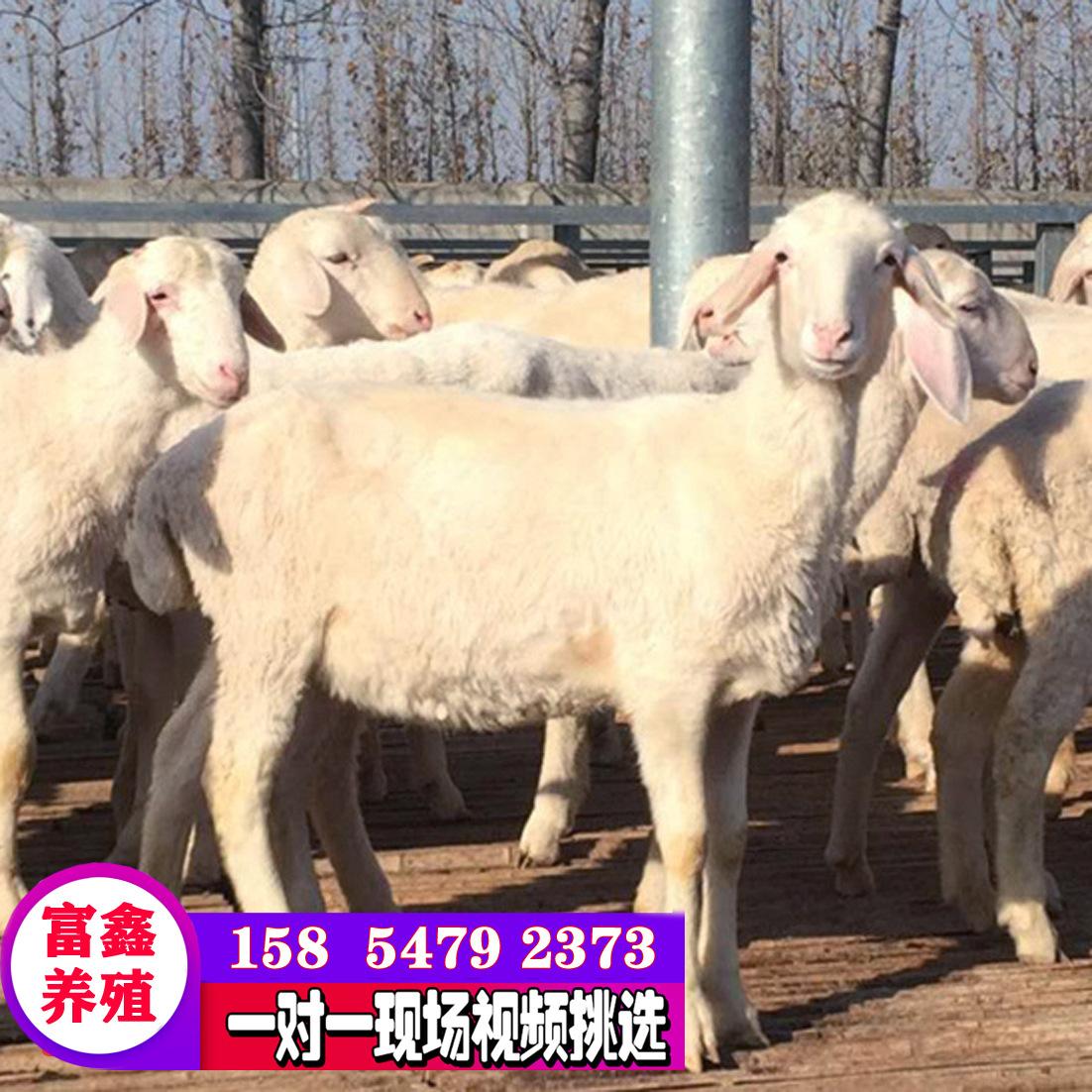 杜泊绵羊活体小尾寒羊怀孕母羊小羊羔活羊绵羊种公羊纯种黑头杜波