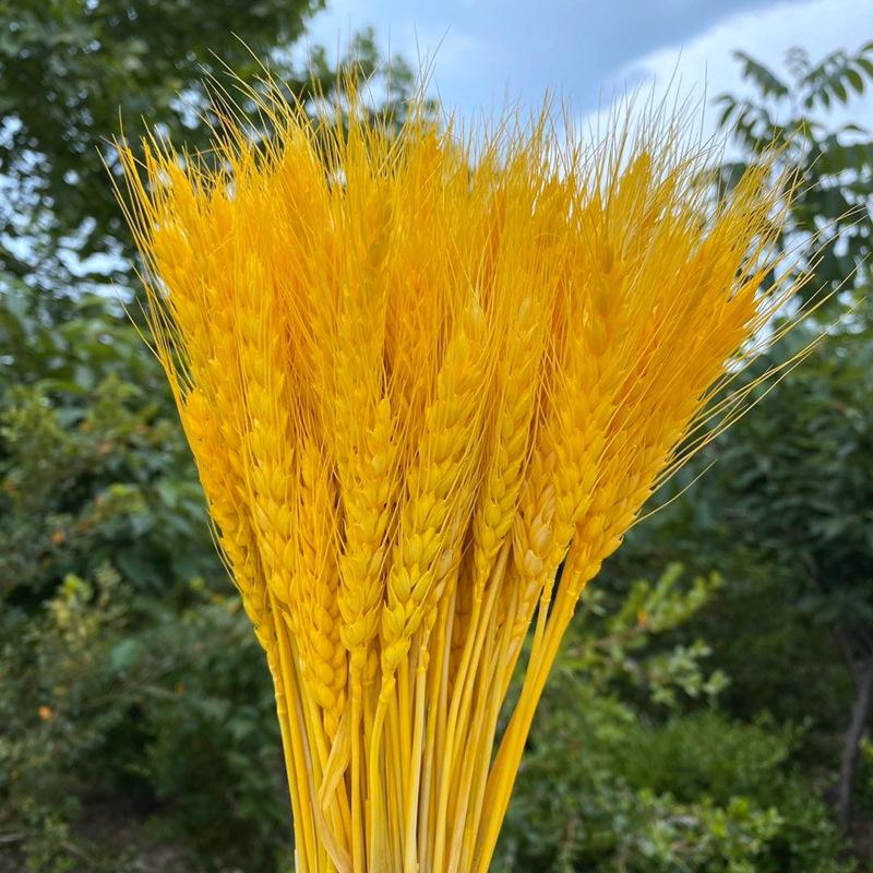 大麦麦穗干花大麦花篮原色麦穗开业装饰拍摄道具大麦花束