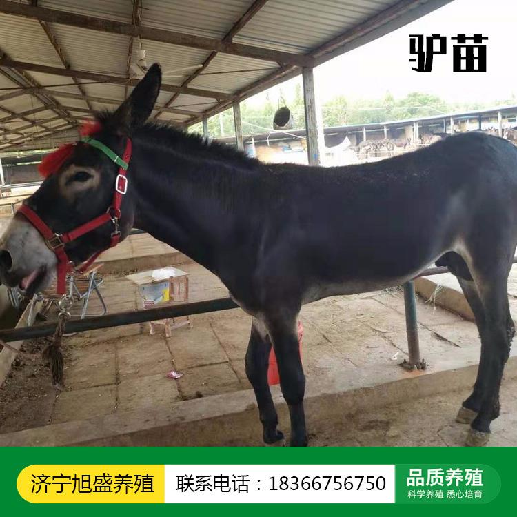 直销养殖肉驴苗 放圈的肉驴品种 三个月龄驴苗 供应商