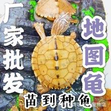 外塘养殖地图龟苗种活体小乌龟深水龟乌龟中华草龟批发