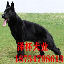 出售东德牧羊犬幼犬纯黑色东德犬幼犬活体纯黑色德牧犬东德犬警犬