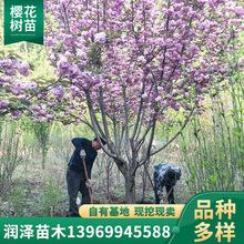 樱花树园林现挖现卖日本晚樱绿化观赏树风景庭院街道工程樱花树