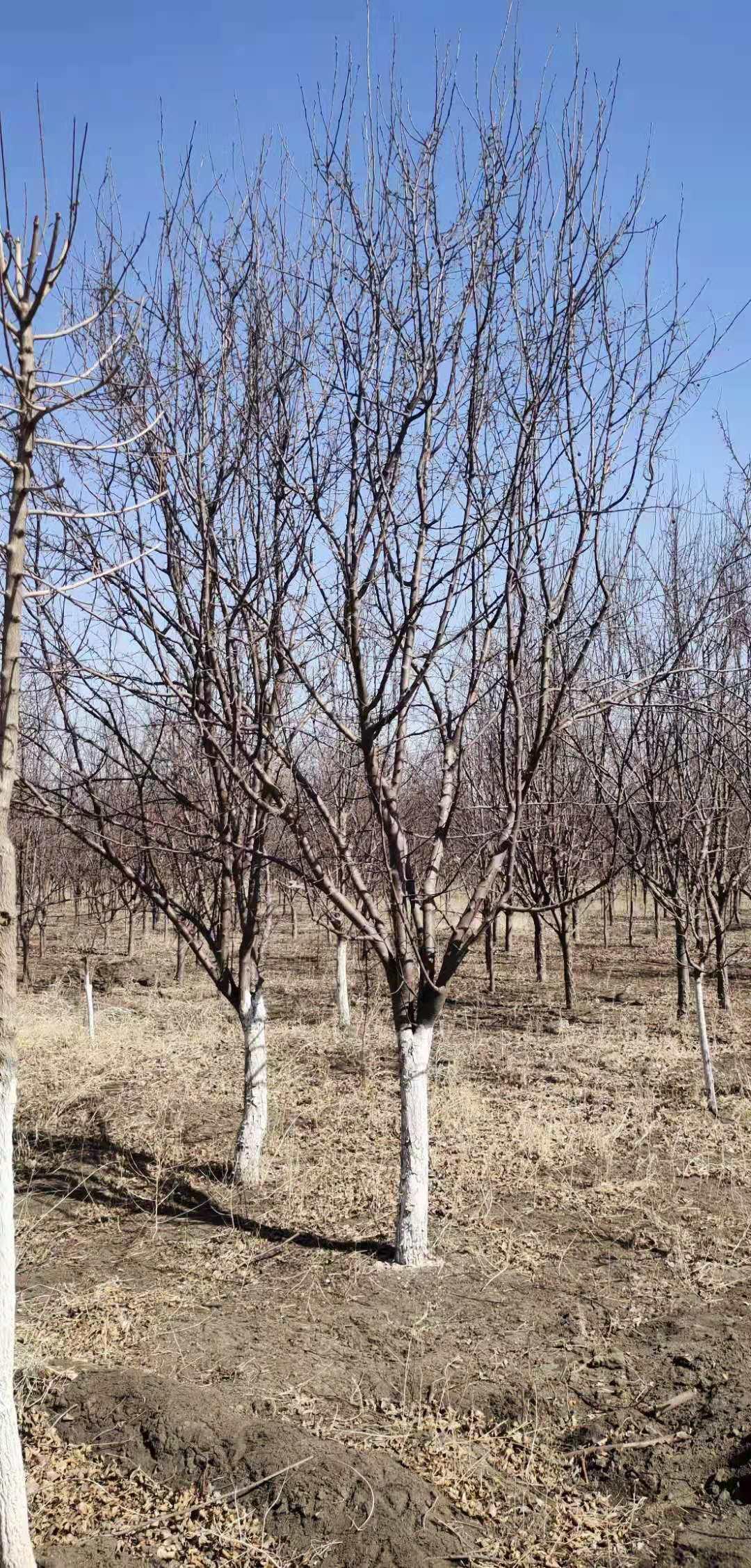 【苗圃直发】3-4-5-6-7公分山楂树绿化工程苗木东北耐寒苗木批发