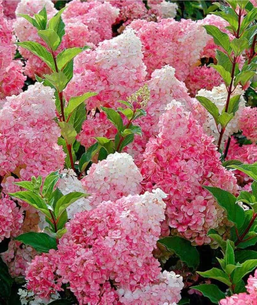 【苗圃发货】白色粉色木绣球大花水桠木花朵鲜切花工艺品原料批发