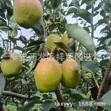 新梨七号梨树苗多少钱一棵 批发玉露香 秋月 早酥红梨梨树苗 现挖