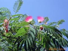供應土合歡樹 馬纓花 絨花樹 扁擔樹 芙蓉樹--綠化苗木!