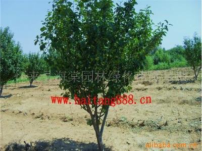 供应八棱海棠树、海棠树、城市道路绿化海棠树